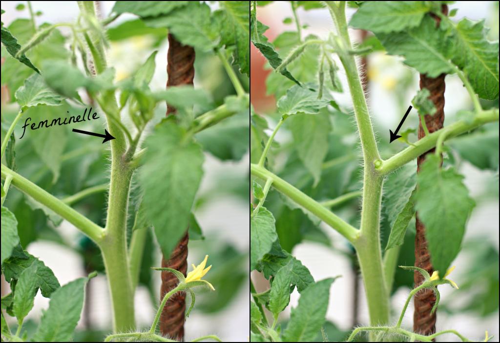 pomodori, lavori orto giugno
